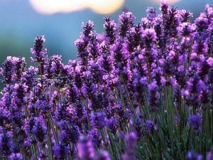 Lavender oil : Rp 39.000 (5 ml)